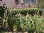 La Mediaş se face agricultură printre blocuri | Contre între vecini