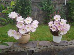 flori de cactus superbe